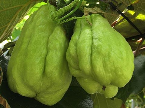 2017年秋収穫の、加藤ファームの隼人瓜の写真です。
